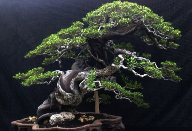 Picture bonsai santigi