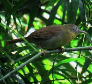 Burung Ciung Air Jawa