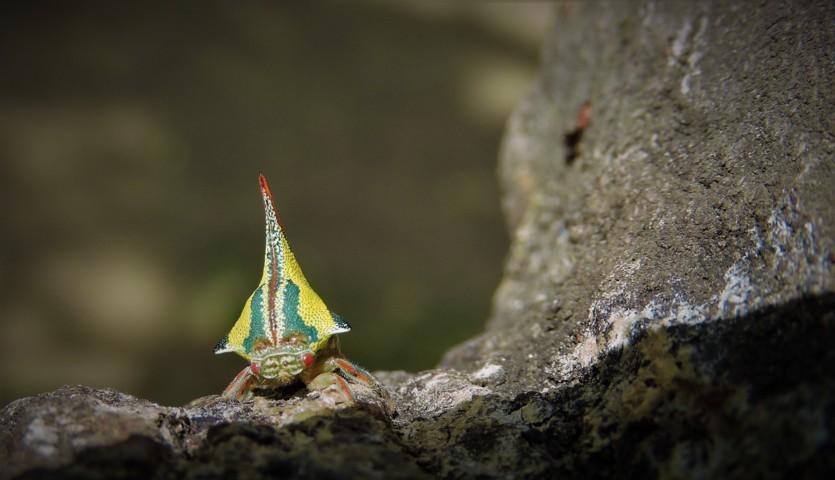 membrácidos Membracidae hemípteros