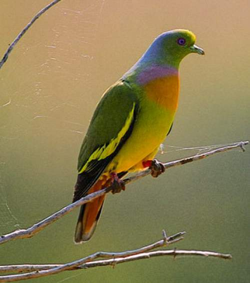 Orange-breasted green pigeon - Treron bicinctus
