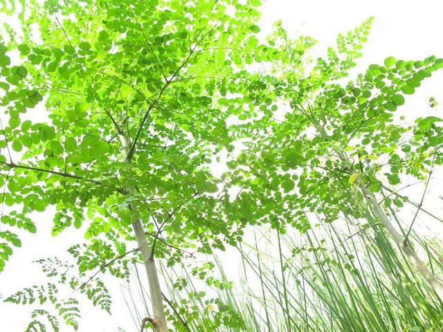 Cây Chùm Ngây và công dụng tốt cho sức khoẻ của cây Moringa (2)