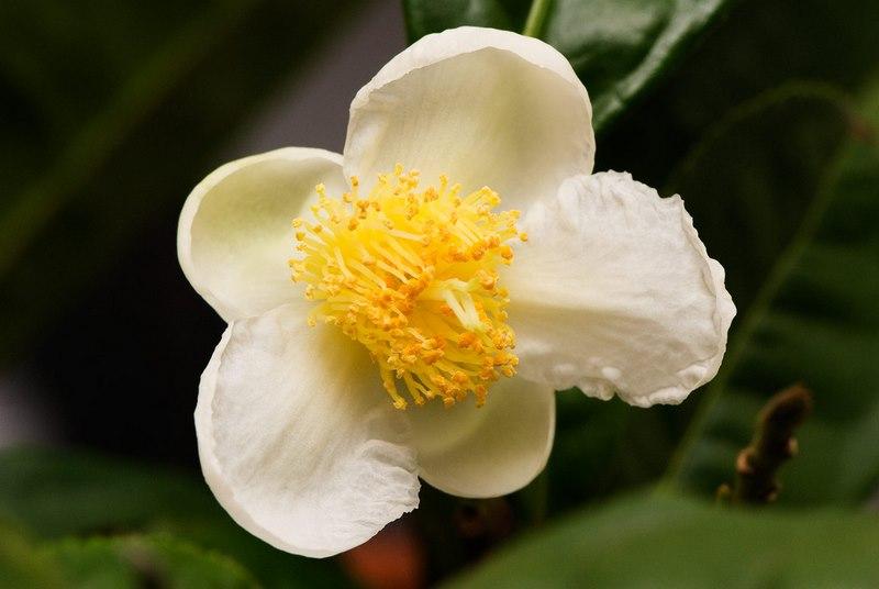 Flor blanca de camelia sinensis (planta de te)