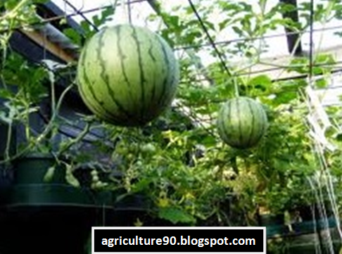 How to Grow Watermelons in a Container or Pot for Maximum Results ...