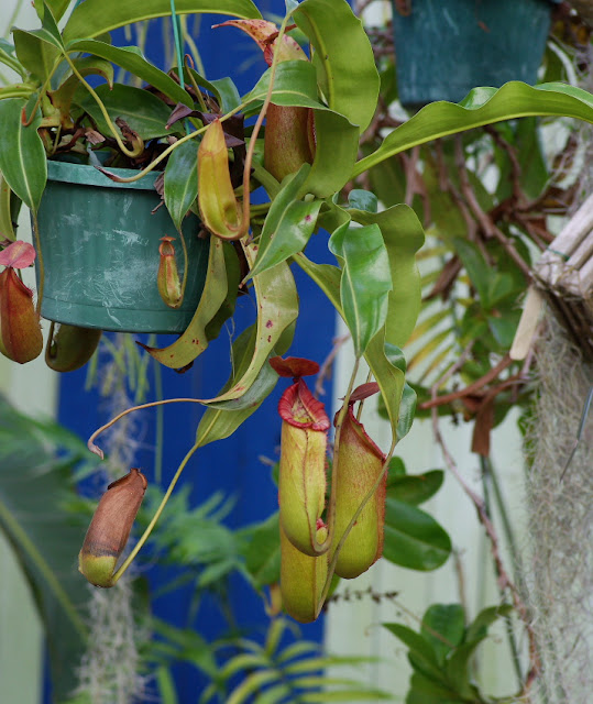 Nepenthes 'Red Dragon'