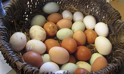 Δείτε πώς θα γεννάνε οι κότες σας ασταμάτητα! Μυστικά διατροφής για... αμέτρητα αυγά!!