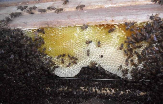 Mật ong bạc hà sản vật vùng đất cao nguyên đá