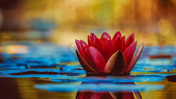 Lotus, Nature, Plant, 4K, #158