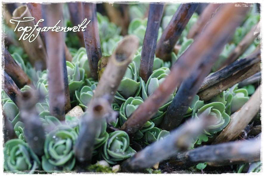 heimische pflanzen f r den garten topfgartenwelt der. Black Bedroom Furniture Sets. Home Design Ideas