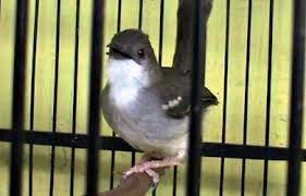 lebih dikenal dengan sebutan prenjak jali di kawasan jawa timur Burung Prenjak Jali