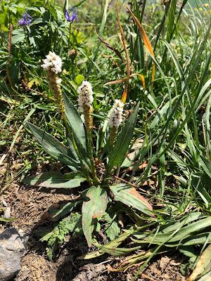 [Polygonaceae] Bistorta vivipara – Alpine Bistort (Poligono viviparo).