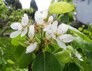 Flores del peral