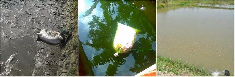 Pemupukan dasar kolam tanah
