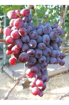 Nizina Grape