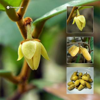 กล้วยเต่า, ไข่เต่า, ตับเต่า, ก้นครก, กล้วยตับเต่า ผลไม้ป่าหายาก ไม้ดอกหอม ไม้ป่า สมุนไพรไทย