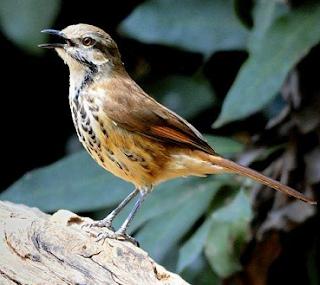 Suara burung spotted palm thrush nan merdu