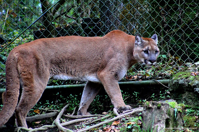 Cougar at Nashville Zoo (C) Rosevine Cottage Girls