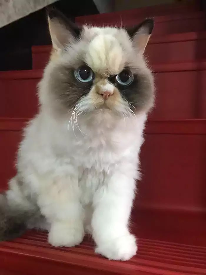 The World's Angriest Kitty Has Come To Replace The Famous Grumpy Cat