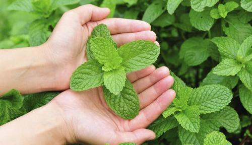 info herbal