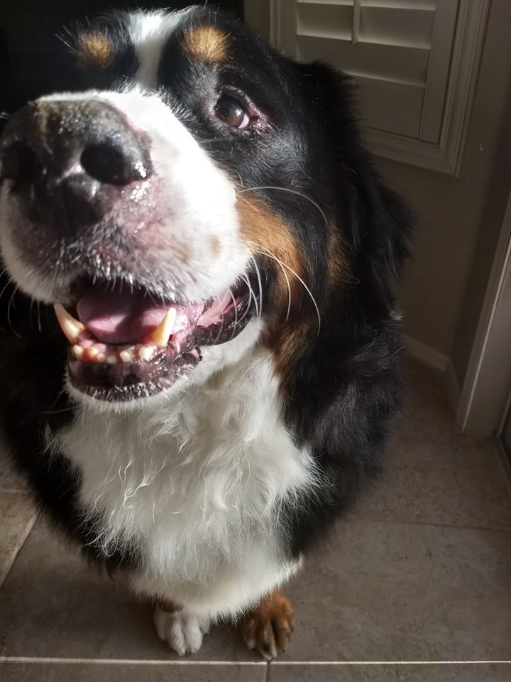 Oscar, the best bernese mountain dog ever.  3.30.2018 Biped versus Quadruped. marchmatron.com