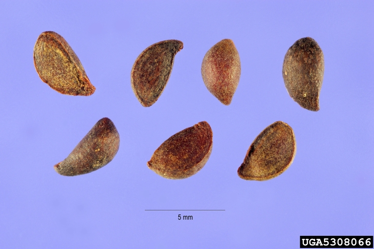 Fruit Seeds of Southern Michigan: Pyrus calleryana ...