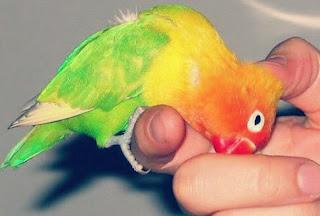 Jenis Burung Lovebird Ficher yang Bagus