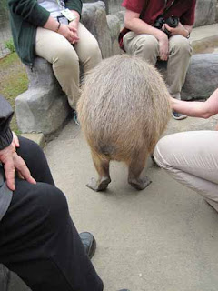 The Behind Of A Capybara.