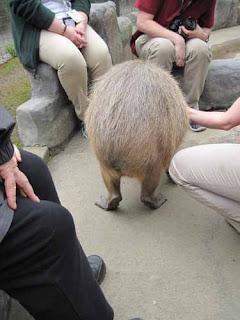 The Behind Of A Capybara.