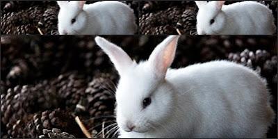 História de salvamento a um coelho, um conto ecológico, coelho branco salvado da morte por amigos