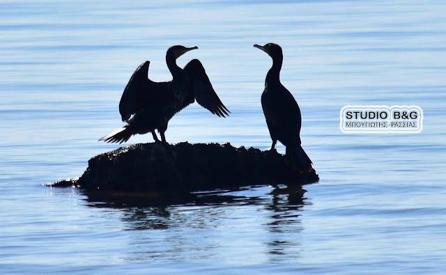 Κορμοράνοι στον υδροβιότοπο Ναυπλίου Νέας Κίου