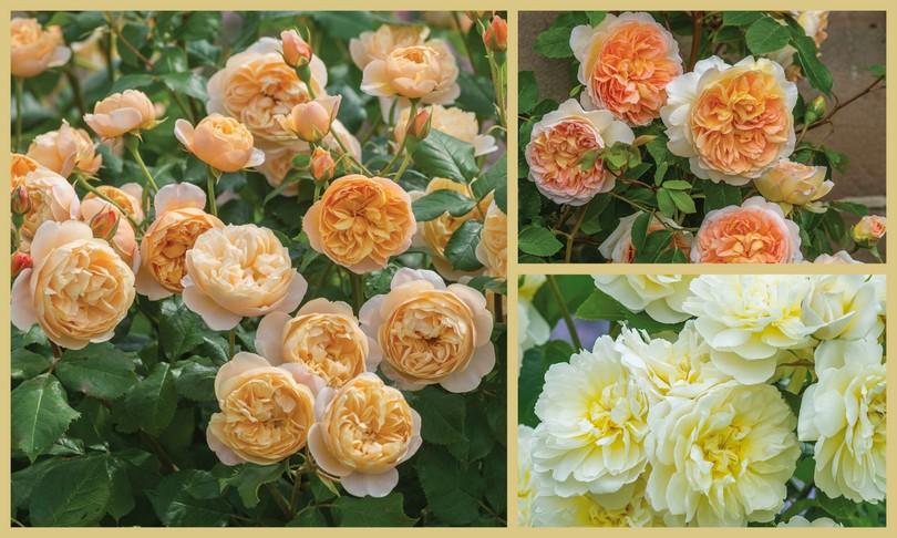 Rosas David Austin Roses RHS Chelsea Flower Show 2016