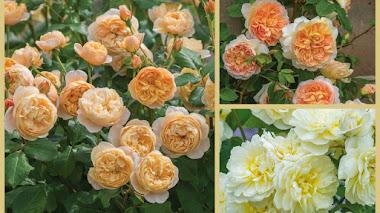 Tres rosas nuevas en Chelsea Flower Show 2016