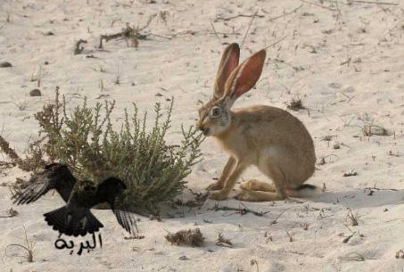 الارنب البري   Rabbit