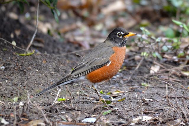 american robin photos download
