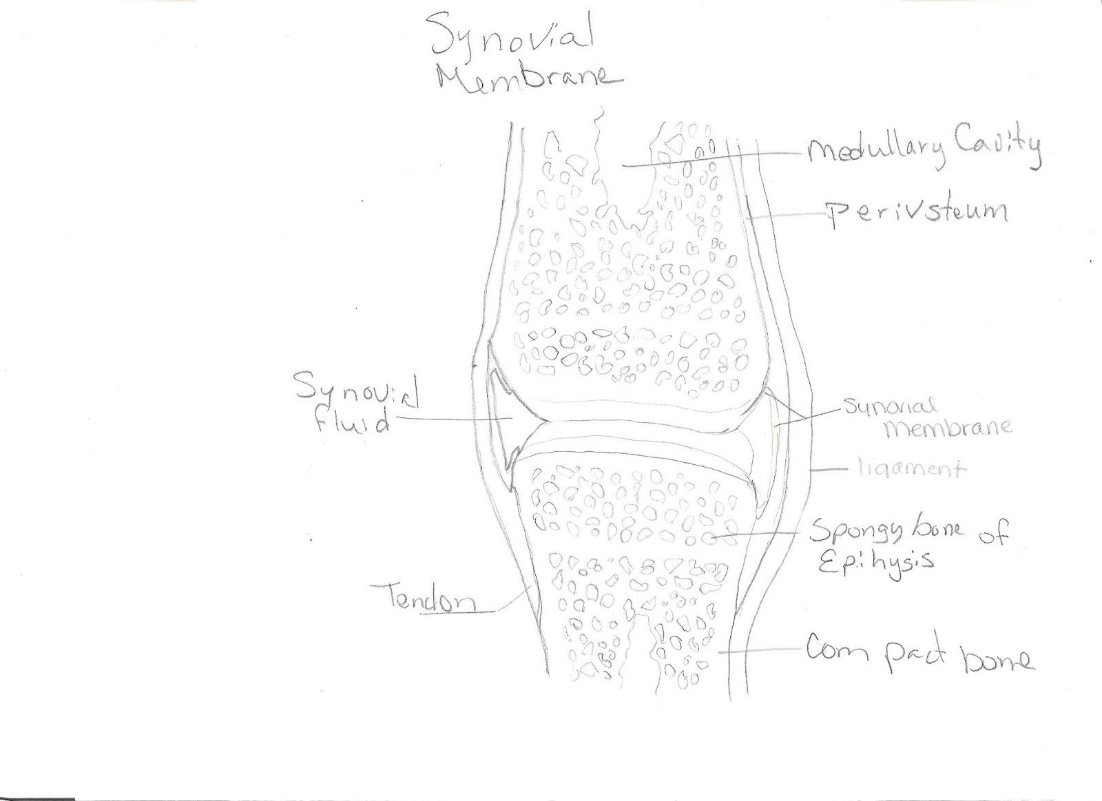 Walls Bio 156 Human Biology: Lab 4 Tissues, Skin & Membrane