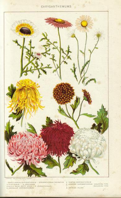 Ficha botánica del crisantemo