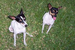 Toy Fox Terrier dog male and female aside