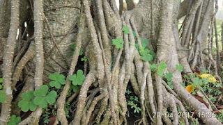 Akar Pohon Kimeng (Ficus Microcarpa)
