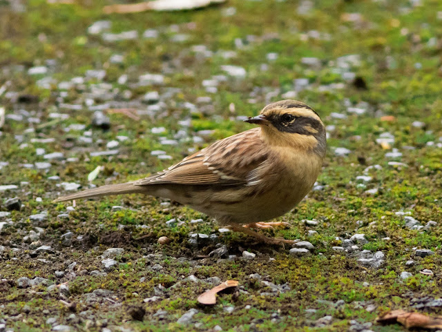Siberian Accentor - Easington, Yorkshire