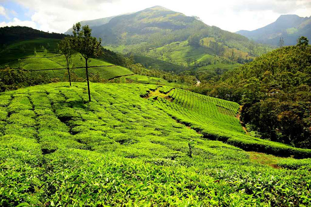Tea garden hill of Munnar,beautiful,beautiful places,most beautiful place in the world,places,beautiful place,most beautiful places,10 beautiful places,travel,beautiful place in the word,world beautiful places,beautiful places to see,beautiful places in 2019,natural beautiful places,most beautiful places world