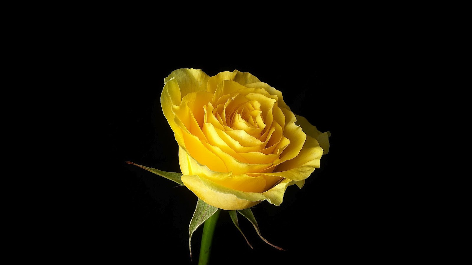 Yellow Rose On Black Background - The Best Place to Enjoy ...