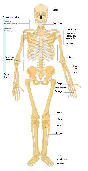 Imagen del Esqueleto Humano parte frontal (vista delantera) señalando sus partes