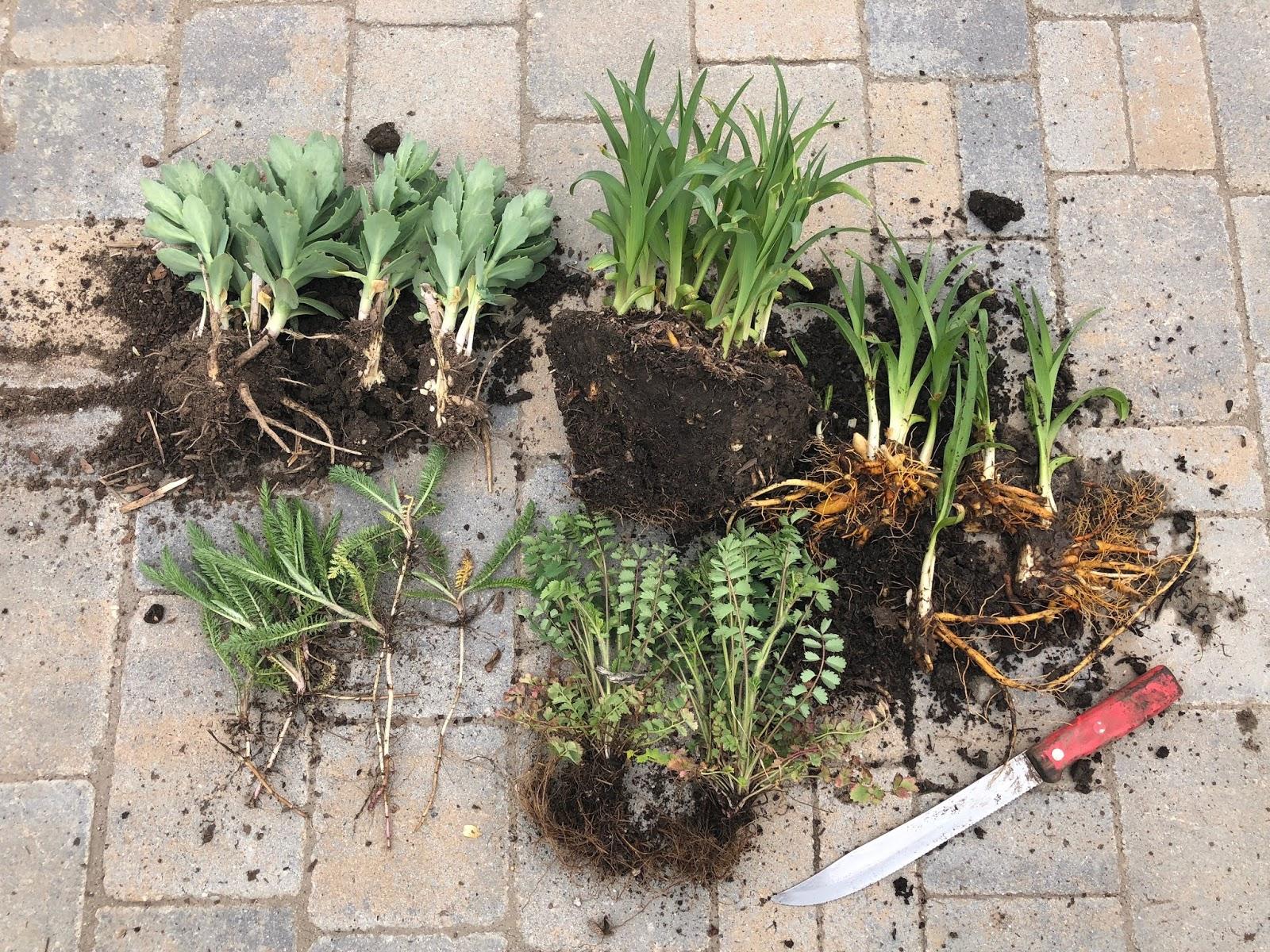 Colorado Mountain Gardener Dividing Perennials