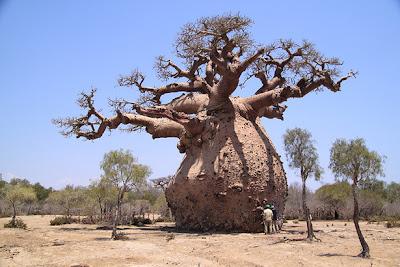 mature baobab