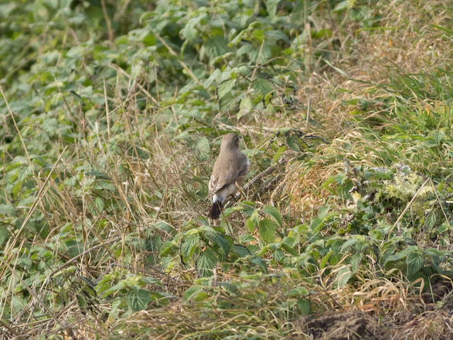 Isabelline Wheatear - Easington, Yorkshire