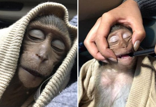 Monkey knocked out for 10 hours due to caffeine overdose