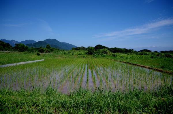 屋久島の田んぼ