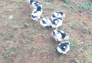 Cara Merawat Anak Ayam Bangkok Agar Cepat Besar dan Juara