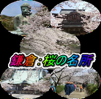 鎌倉:桜の情報