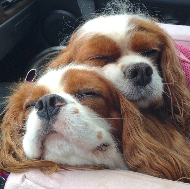 Blenheim Cavalier King Charles Spaniels snuggling close up
