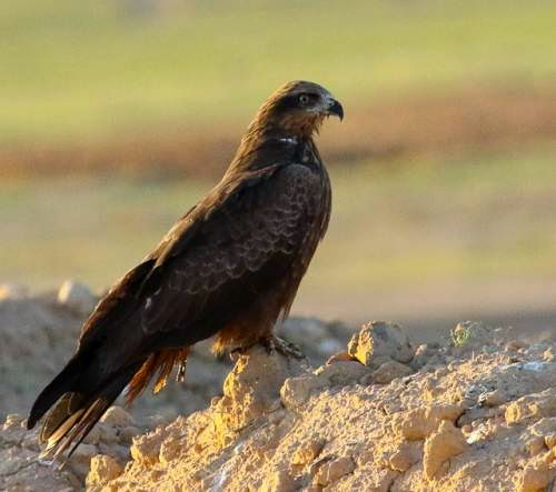 Indian birds - Image of Black kite - Milvus migrans